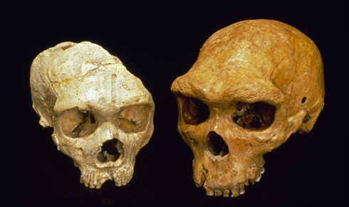 The Denisova human shared a common ancestor with modern humans and Neanderthals (cranium shown right