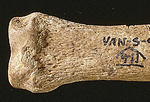Remains of a seal showing cut marks where Neanderthals removed meat from the bone (phalanx) discover