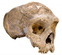 Adult female Neanderthal skull from Gibraltar.