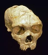 Skull of a Neanderthal, Homo neanderthalensis