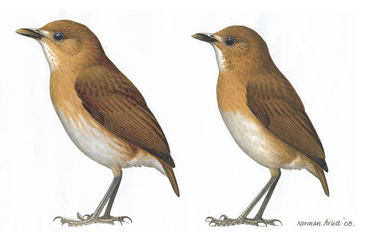New subspecies of Colombian antpitta, on the left, with subspecies, milleri, on the right.