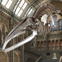 Blue whale skeleton above Hintze Hall