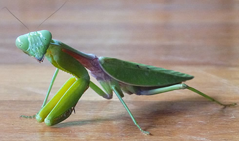 A praying mantis, paying a visit to the team of scientists on the Borneo biodiversity fieldtrip