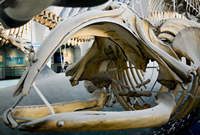A North Atlantic right whale on display in the Mammals and Whale gallery. This new find could bigger