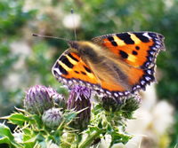 The small tortoiseshell butterfly was oncecommon in gardens but numbers have fallen in recent years.