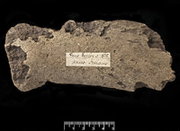 3-million-year-old whale bone fossil showing the borings made by Osedax bone-eating worms