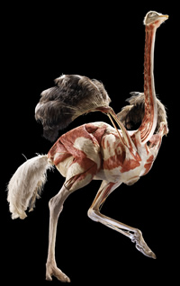 Animal Inside Out plastinated ostrich