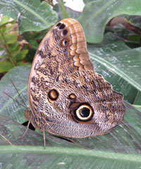 The usual owl butterflies have a single 'eye' or ocelli on their hind wing.