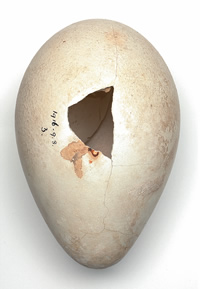 Emperor penguin egg collected at Cape Crozier
