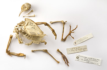 Pigeon bones prepared by Charles Darwin are on display for the 150th anniversary of the idea of evol