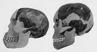 Piltdown skull reconstruction on left next to a modern human's.