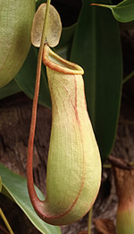 Pitcher plants are one of the 3 most well-known carnivorous plants
