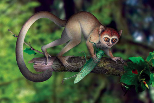 Illustration of the ancient primate from 55 million years ago. It was a relative of today's tarsiers