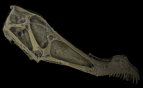 CT scan of a 100-million-year-old pterosaur, species Anhanguera