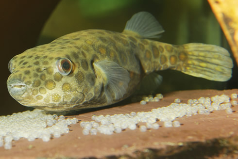 A male pufferfish guards his eggs. The 'beak' of the pufferfish is a unique dental structure and Mus