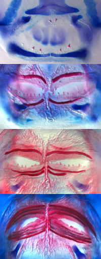 Stages of tooth development (stained red) showing the change from teeth, to bands, to 'beak'.