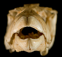 Pufferfish skull showing the unique beak-shaped toothplates.