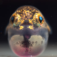 Pufferfish larvae have normal conical teeth