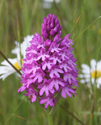 Pyramidal orchid seems to be doing well this year.