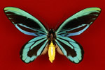 Museum specimen of a Queen Alexandra's birdwing butterfly, the world's largest butterfly