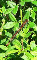 Large red damselfly © Y Da Silva