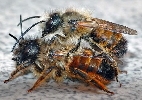 Two red mason bees, osmia rufa.