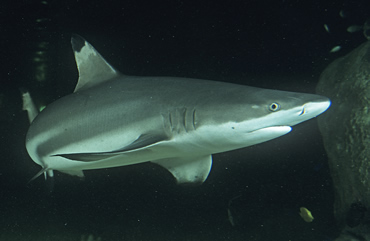 Black tip reef shark. The science of shark skin has been used to develop high-performance swimsuits.