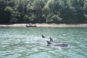 More than 20 common dolphins stranded in the Percuil River in Cornwall on 9 June 2008. BDMLR marine