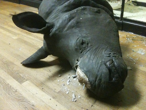 The Indian rhino on display at the Museum at Tring after the replica horn theft 27 August 2011