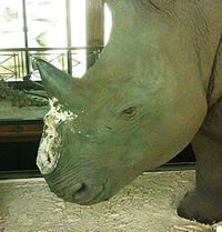 White rhino specimen at Tring that had its lower replica horn stolen