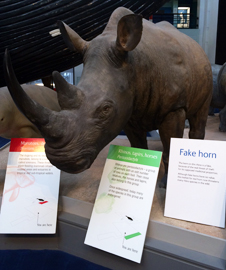 Rhino horns on display