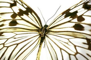Close up of the rice paper butterfly (Idea leuconoe).