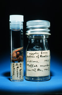The maggots used in the Ruxton forensic murder case from 1935