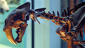 Sabre-toothed cat, Smilodon fatalis