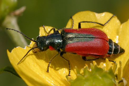 A rare scarlet malachite beetle found by a volunteer taking part in a Museum survey.