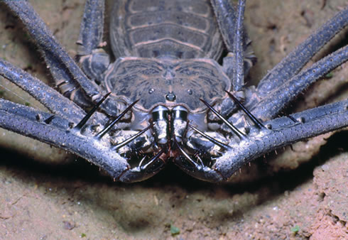 A close-up of a whip scorpion