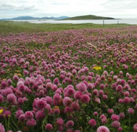 Scottish machair grassland is one of the few habitats in Britain where the great yellow bumblebee is