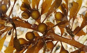 Close-up of seaweed called wireweed