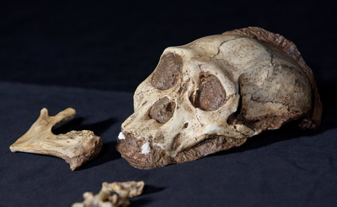 The replica skull of Australopithecus sediba, given to the Natural History Museum