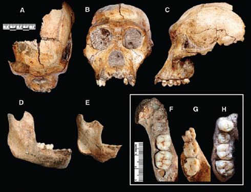 Skull and teeth fossils of Australopithecus sediba the 1.9-million-year-old human-like species