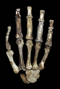 Fossil bones of A. sediba's hand that showed more human-like features as well as a powerful grip