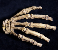 A. sediba's hands show human proportions, suggesting greater dexterity