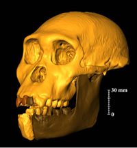 Virtual reconstruction of the one of the Australopithecus sediba skulls, the 1.9-million-year-old hu