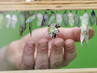 Watch butterflies emerge from their chrysalis in the hatchery