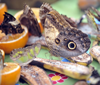 This  owl butterfly stops for lunch on some fruit in the butterfly house