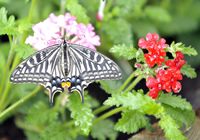 There will be about 600 butterflies and moths in Sensational Butterflies, inc this swallowtail,