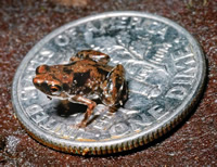 This frog Paedophryne amauensis from Papua New Guinea, measures an amazing 7.7mm.