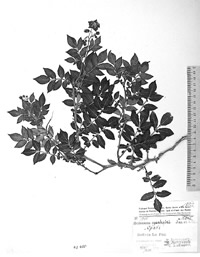 A type specimen of the potato Solanum ajanhuiri
