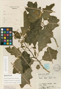 Leaves of new plant species Solanum umtuma-the first online-only plant description published 1 Jan12