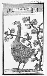 Drawing of solitaire bird from 1708 - this is the only one known made before the bird became extinct